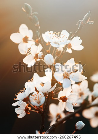 Springtime. Spring flowers blossom in sunny day. Beautiful nature scene with blooming tree and sun flare. Sunny day. Beautiful Orchard background. - stock photo