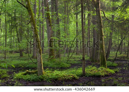 Springtime sunrise in wet deciduous stand of Bialowieza Forest with standing water,Bialowieza Forest,Poland,Europe - stock photo