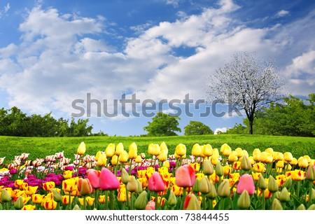 Springtime tulips - stock photo