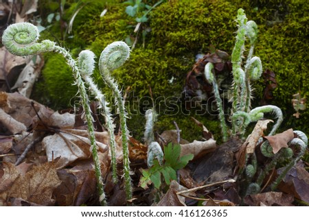 Springtime view of fiddlehead ferns growing in forest in the Berkshire Mountains of Western Massachusetts. - stock photo