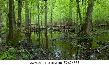 Springtime wet deciduous forest with standing water and dead trees partly declined - stock photo