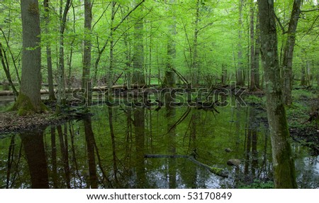 Springtime wet deciduous forest with standing water and dead trees partly declined in background - stock photo