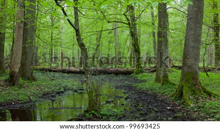 Springtime wet deciduous forest with standing water and dead trees partly declined in background