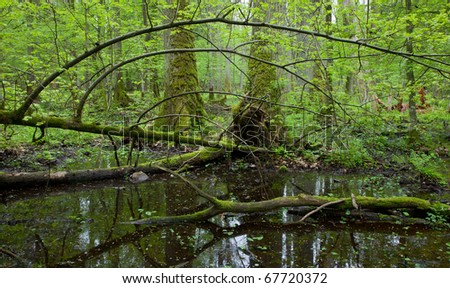 Springtime wet deciduous forest with standing water and oaks in background - stock photo