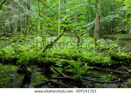 Springtime wet deciduous stand forest with standing water and dead trees partly declined,Bialowieza Forest,Poland,Europe - stock photo
