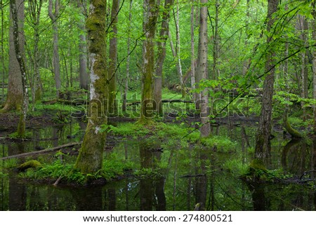 Springtime wet deciduous stand of Bialowieza Forest with standing water,Poland,Europe - stock photo