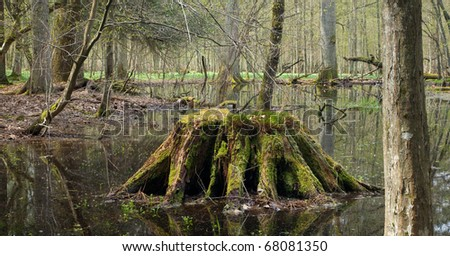 Springtime wet forest with standing water with mossy stump in foreground - stock photo