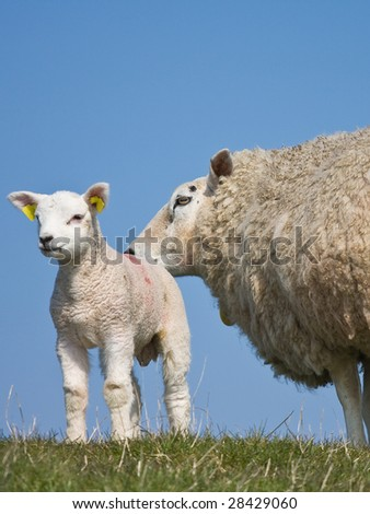 Springtime with new life, lamb with his mother - stock photo