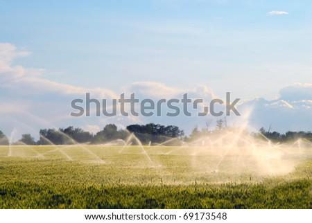 Sprinklers irrigate a field of grain. - stock photo