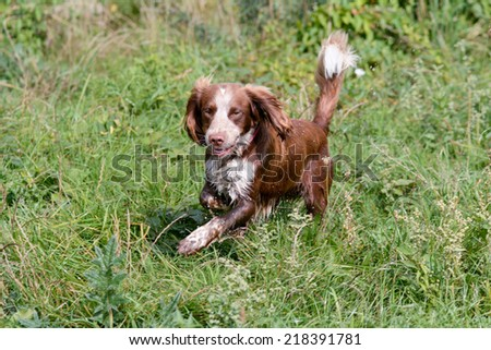 Sprollie dog running through long grass - stock photo