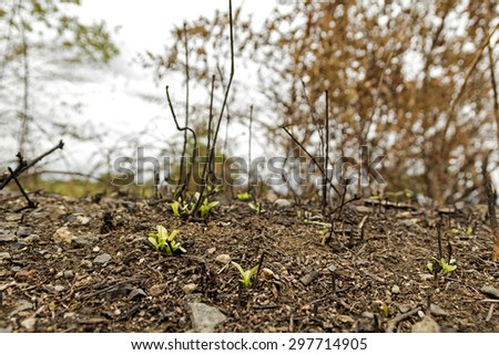 sprout are grown on land that was on fire with blurred background. - stock photo