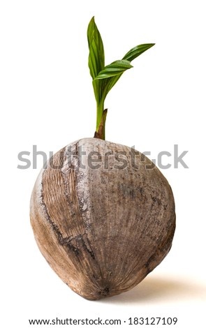 Sprout coconut isolated on white background - stock photo