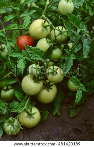 Sprout full of unripe green cherry tomatoes