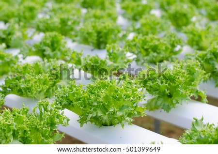Sprout hydroponic vegetables growing in greenhouse, Thailand, Frill iceberg lettuce