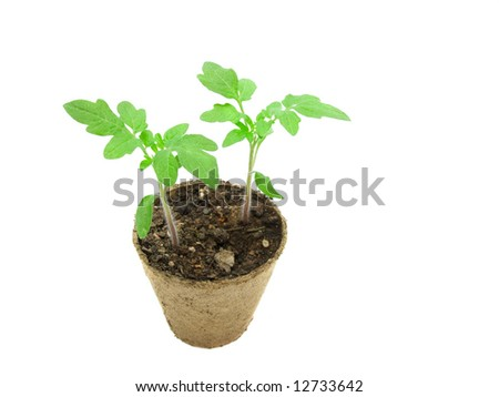 Sprout in  peat pot on  white background - stock photo