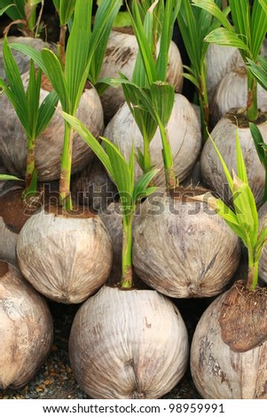 Sprout of coconut tree - stock photo