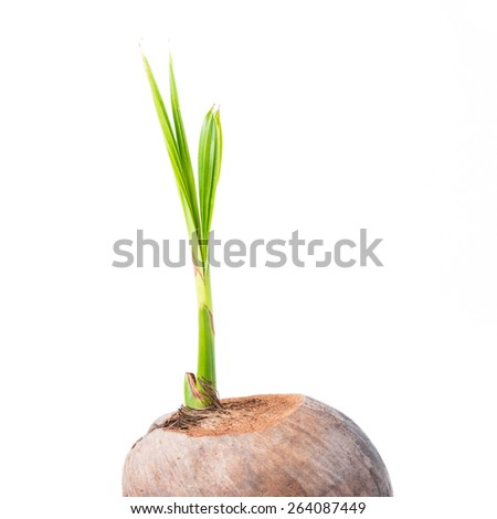 Sprout of coconut tree on white background - stock photo