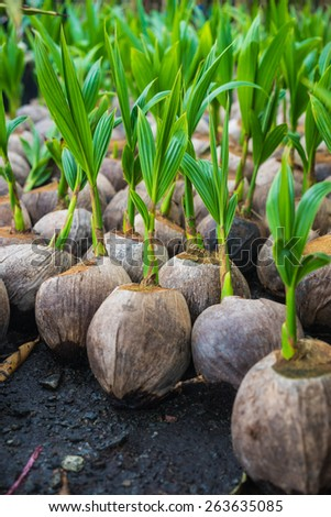 Sprout of coconut tree pop out of the coconut - stock photo