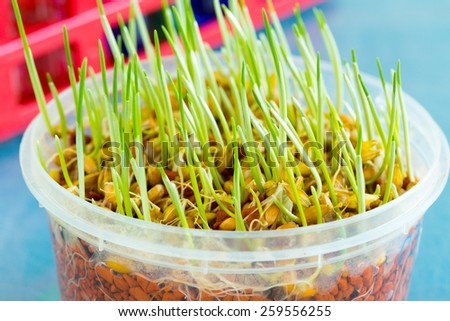 sprout of genetically modified wheat - stock photo