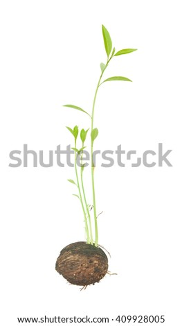 Sprout of pong pong tree isolated on white background - stock photo