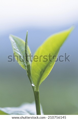 Sprout Of Tea