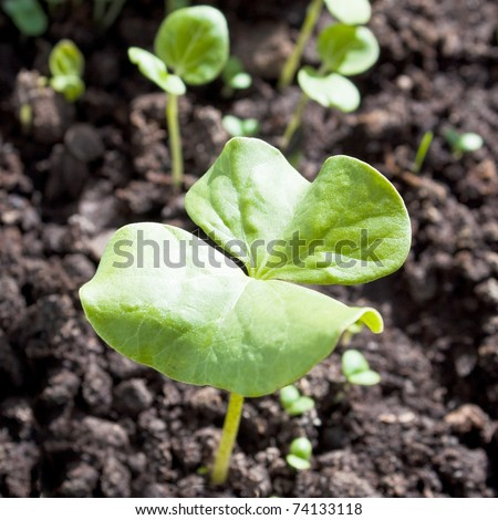 Sprout of the cotton plant - stock photo