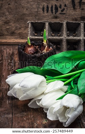 sprouted bulbs on white background fresh cut tulips - stock photo