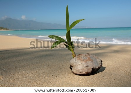 Sprouted coconut  on the beach   - stock photo