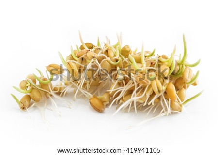 Sprouted wheat on a white background.