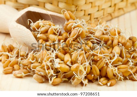 Sprouted wheat seeds Wooden scoop and basket on table - stock photo