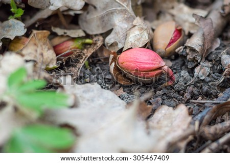 Sprouting acorn on the ground, among the dry leaves in the forest - stock photo