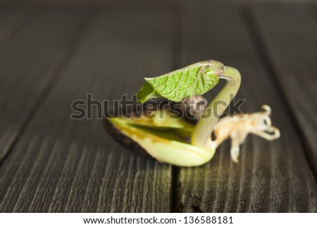 sprouting beans on rustic wooden - stock photo
