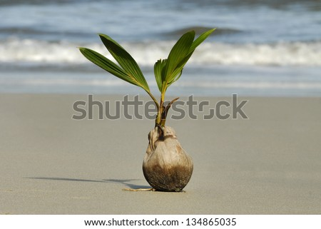 Sprouting Coconut (Cocos nucifera) on the beach in Manuel Antonio National Park - stock photo