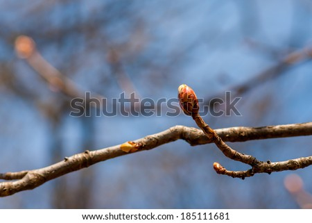 Sprouting firstling little colorful spring buds opens on tree bough on blue sky background - stock photo