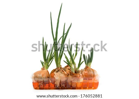 Sprouting green onions.  Isolated on white