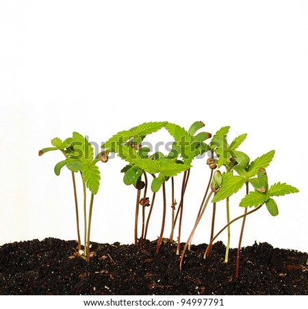 Sprouting Seedlings With White Background - stock photo