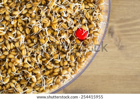 Sprouting whole wheat in a sprouting tray from above. - stock photo