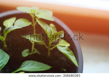 Sprouts of pepper in the pot. Pepper plants in the soil. Farming, organic vegetables. Grow plants at home. The idea, growth, aspiration, goal. Sunlight. Leaves peppers. - stock photo