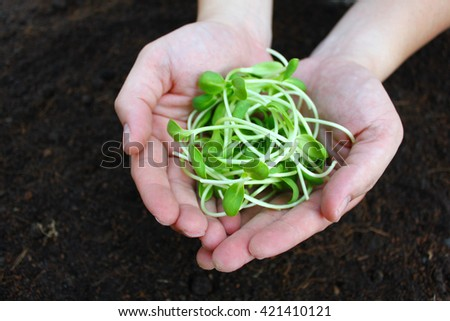 Sprouts Seeds on hands, New life concept , condiment for cooking/ feed for domestic animals, fat free Protein rich food  - stock photo