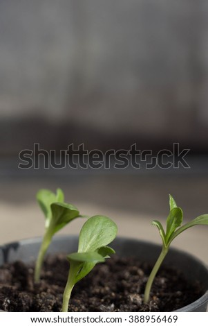 Sprouts. Small sprouts from seeds. Green sprouts growing out from soil. - stock photo