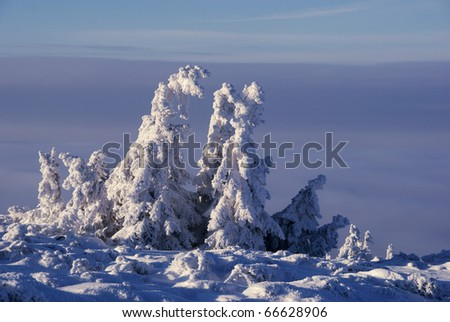 spruce and clouds,winter Carpathian,Poland