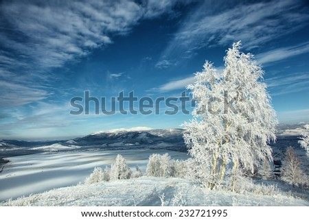 spruce birch frosty morning in the altai's mountains - stock photo