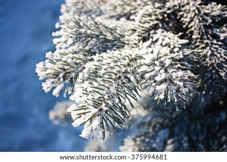 Spruce branch covered with snow on a blue background