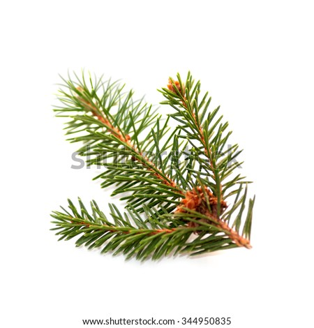 spruce branch isolated - stock photo