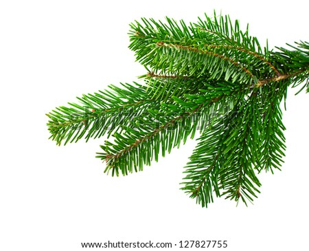 Spruce branch on a white background - stock photo