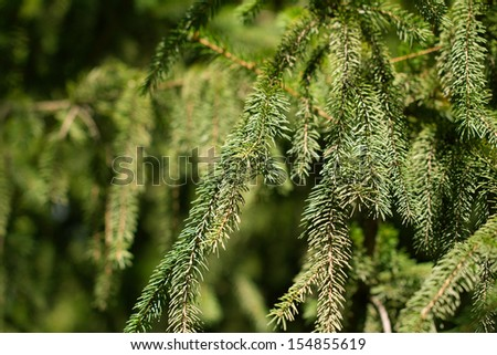spruce branch on the nature - stock photo