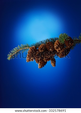 Spruce branch with cones on blue background - stock photo
