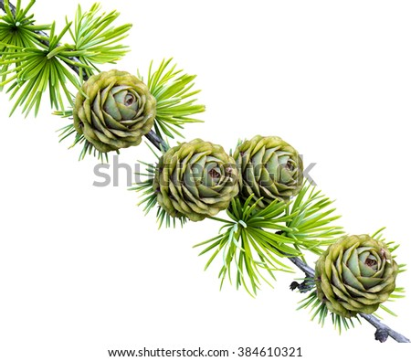 spruce branch with cones. spruce tree branch with cone isolated on white background. tree branch. fir tree isolated on white. - stock photo