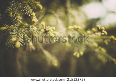 Spruce branches in the woods. - stock photo