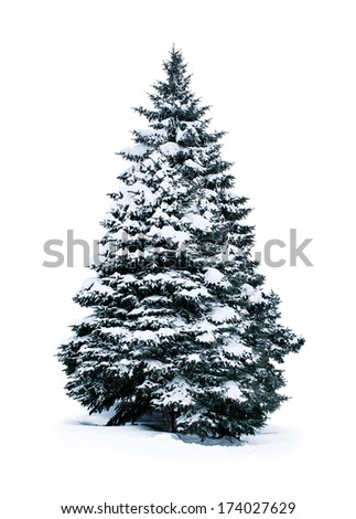 spruce covered with snow isolated on white background - stock photo